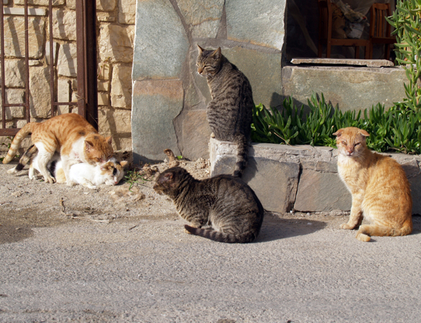 Cats Mating on the Island of Crete