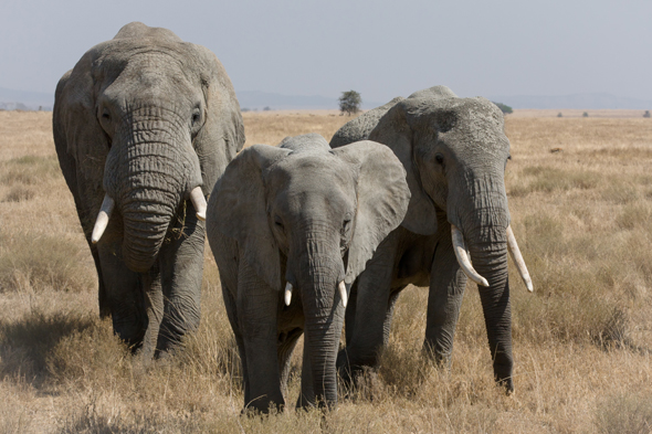Serengeti Elephant Herd